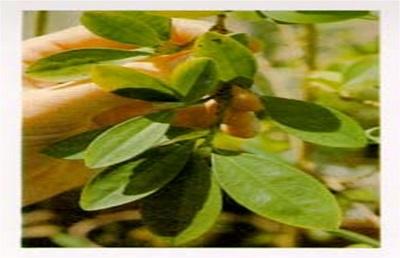 گیاه کوکایین